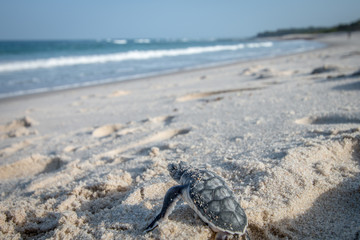 Baby Green sea turtle making its way to the Ocean.
