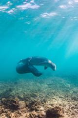 Monk seals playing underwater