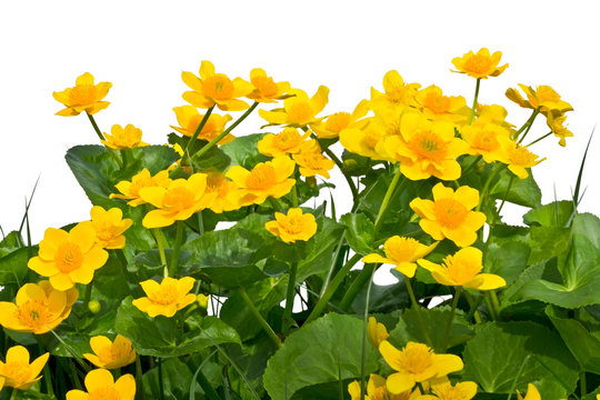 Bouquet of marsh-marigolds on a white background.