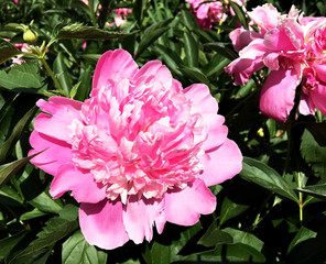The colorful photo shows blooming flower peony