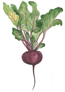 beets, watercolor painting