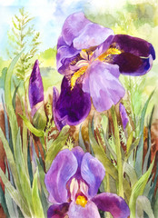Watercolor purple irises. Beautiful watercolor vintage background