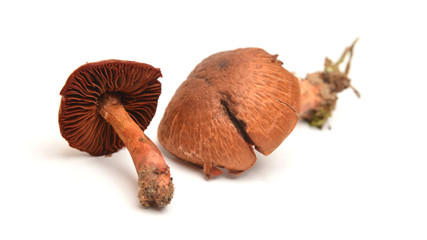 Cortinarius phoeniceus mushroom