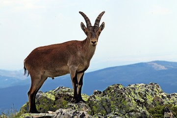 Macho o cabra montés (Capra pyrenaica).