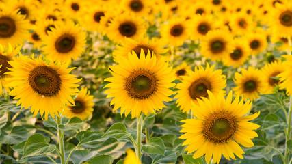 Full bloom sunflower close up, natural landscape background