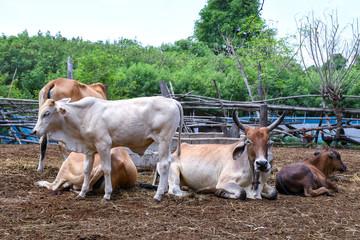 Villager's cow farm in rural Thailand, Southeast Asia.