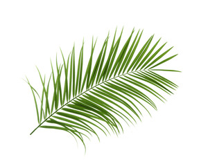 Beautiful tropical Sago palm leaf on white background