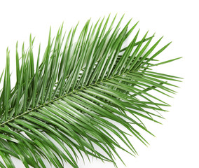 Beautiful tropical Sago palm leaves on white background