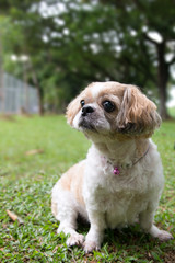 Portrait of a cute little Shih Tzu puppy dog outdoor