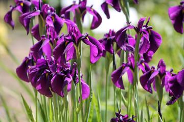 Iris ensata, Iris, Japanese iris, Japanese, water iris, flora, plant, flower, bloom, blooming, violet, lilac, purple, summer, garden, ornamental, flowering, blooming, group