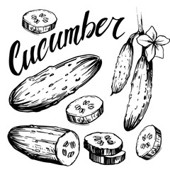 Cucumber sketch. Hand drawn vector