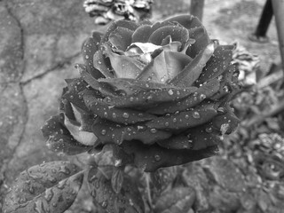 rose after a rainy night