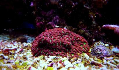 Favites LPS brain coral in saltwater reef aquarium tank