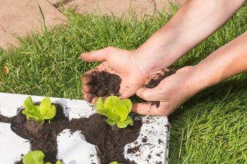 Salat wird in Anzuchtschale Erde zugefügt