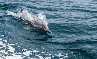 playful humpback dolphins in a coastal waters of Musandam Oman