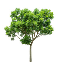 Isolated Tree on white background ,Suitable for use in landscap design, Tree from thailand, Asia