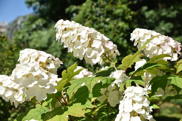 Foto auf Leinwand Hortensie Hydrangea quercifolia (hortensia à feuilles de chêne) d'Amérique du Nord