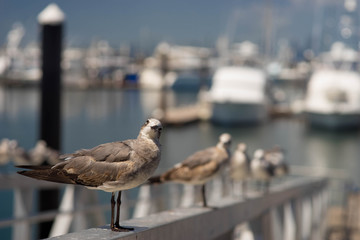 A seagull standing facing front with isolated blurred background of boats docking at the port