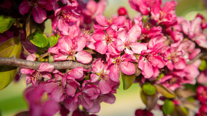 Pink flowers on tree branch in spring