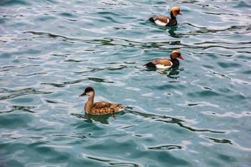 Ducks in the water, lake Garda, Italy