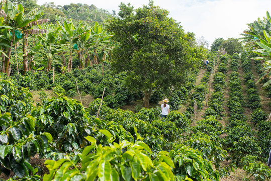 Rows of coffee on a coffee plantation in Colombia