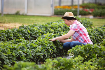 A middle age woman works in his strawberry field