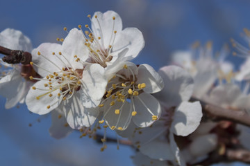 Branches of flowering apricots