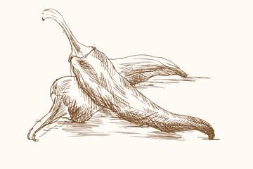 Papryka ostra - szkic, rysunek odręczny