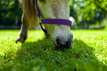 close-up of pony on green meadow