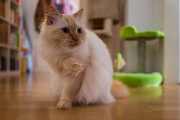 A brown birman cat