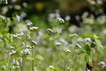 Vernonia cinerea in the meadow
