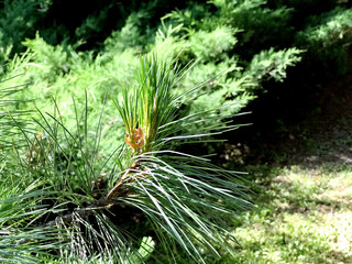 Branch of evergreen plant