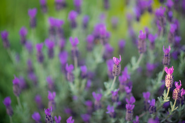 Shallow depth lavender blooms