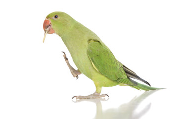 An Indian Ringneck parakeet eating and isolated on white. Fotomurales