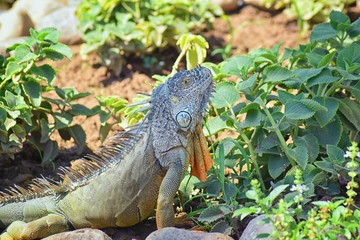 Wild Iguana eating plant leaves out of an herb garden in Puerto Vallarta Mexico. Ctenosaura pectinata, commonly known as the Mexican spiny-tailed iguana or the Mexican spinytail iguana, is a moderate-