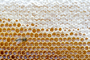 Honeycomb from a bee hive filled with golden honey in a full frame view. Background texture.