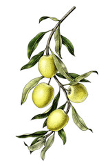 Olive branch illustration vintage clip art isolate on white background