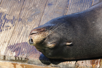 A sea lion lies lazily on a raft and bathes in the sun. Sea Lions at San Francisco Pier 39 Fisherman's Wharf has become a major tourist attraction.