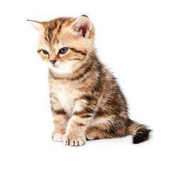 British short hair kitten.