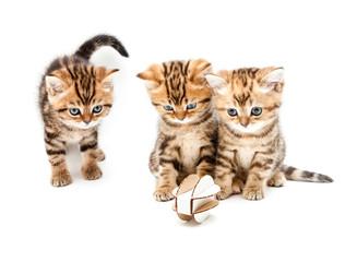 British short hair kittens.