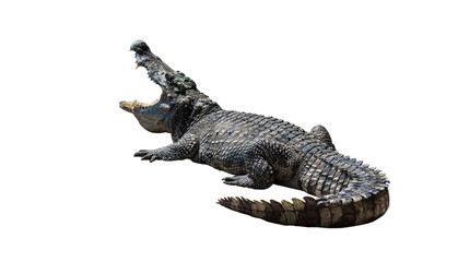 Photo sur Aluminium Crocodile Crocodiles on white background.