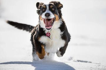 Junger Berner Sennenhund