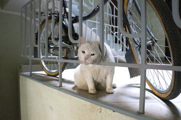 White cat stuck his head through the fence near bicycle.