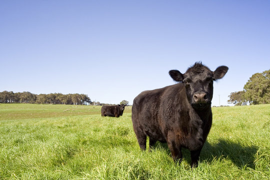A dark colored cow in a green field in the south west of Australia.