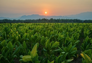 Foto auf AluDibond Kultur Tobacco field and mountain at sunset background : Lom Sak, Phetchabun, Thailand