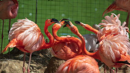 Pink flamingos are walking in the park
