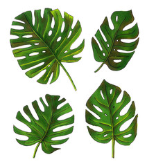 sketch illustrations tropical monstera. hand drawing isolated elements.