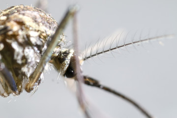 Anopheles sp. is a species of mosquito in the order Diptera, Anopheles sp. in the water for education.