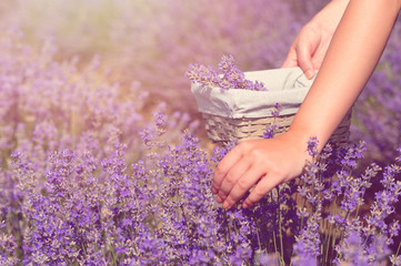 Gathering fresh lavender in a wicker basket. Beautiful girl gather fresh lavender in lavender field. Sun, sun haze, glare. Purple tinting.
