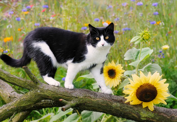 Cat, European Shorthair, on a tree branch with sunflowers